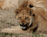 lion cub with a smile 0125 2-3-08.jpg