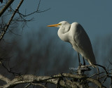 Great Egret 0458 1-1-08.jpg