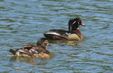 wood ducks 0192 2 5-24-08.jpg