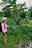 1. Calotropis gigantea