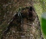 Green tree skink IMG_3922.jpg