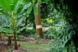 Girdling an invasive species of tree. IMG_3919.jpg