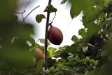 1. Pangium edule Achariaceae (false durian) IMG_3281.jpg
