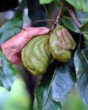 2. Inocarpus fagifer Fabaceae (mworopw) IMG_1104.jpg
