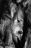 Skpjack tuna. L1007902.jpg