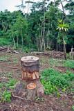 4. A girdled invasive tree.  IMG_7754.jpg