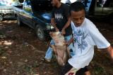 No way to treat a pig. IMG_7999.jpg