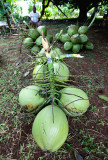 Some of the many coconuts. IMG_7767.jpg