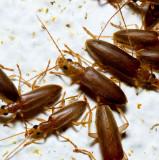 7. Blister beetles. IMG_5106.jpg