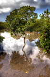 Mangrove. IMG_9529_30_31_t.jpg