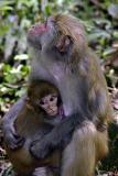 Baby rhesus and mother, Macaca mulatta, family Cercopithecidae