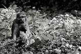 Mother and baby. Rhesus monkey.