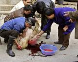 Slaughter of pigs, Yuan Kou, Guizhou Province, China.  **Graphic**