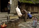 Pig hanging during slaughter.