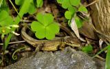 Lizard. Wuling Mts. Near Jishou, Hunan Province, China
