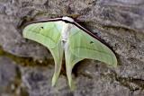 Luna moth, Lepidoptera.