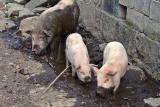 Pigs in mud. Very happy.