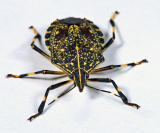 Order: Hemiptera  #1