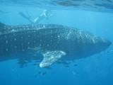 Exmouth diving (17) Whale Shark.jpg