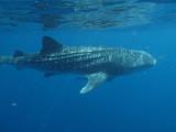 Exmouth diving (6) Whale Shark.jpg