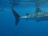 Exmouth diving (7) Whale Shark.jpg