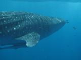 Exmouth diving (8) Whale Shark.jpg