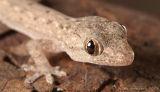 Common Asian Gecko