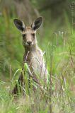 Grey Kangaroo 1