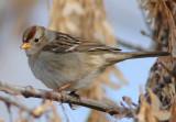 Sparrow White-crowned (Juvenile) D-007.jpg