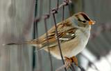 Sparrow White-crowned (Juvenile) D-001.jpg