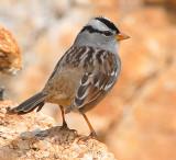 Sparrow White-crownedD-012.jpg