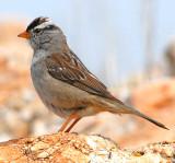 Sparrow White-crownedD-013.jpg