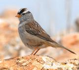 Sparrow White-crownedD-015.jpg