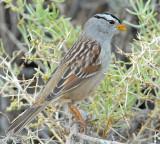 Sparrow White-crownedD-017.jpg