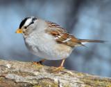 Sparrow White-crownedD-019.jpg