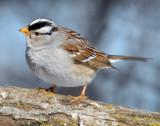 Sparrow White-crownedD-020.jpg