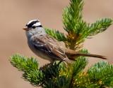 Sparrow White-crownedD-024.jpg