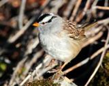 Sparrow White-crownedD-026.jpg