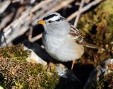 Sparrow White-crownedD-028.jpg