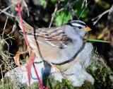Sparrow White-crownedD-029.jpg