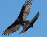 Vulture Turkey D-002.jpg