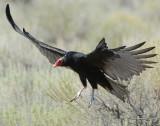 Vulture Turkey D-007.jpg