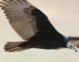 Vulture Turkey D-009.jpg