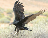 Vulture Turkey D-012.jpg