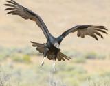 Vulture Turkey D-016.jpg