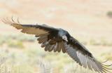 Vulture Turkey D-017.jpg