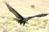 Vulture Turkey D-018.jpg