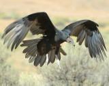 Vulture Turkey D-019.jpg