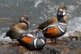 Duck Harlequin D-01.jpg