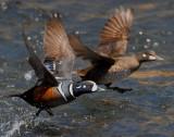 Duck Harlequin D-015A.jpg